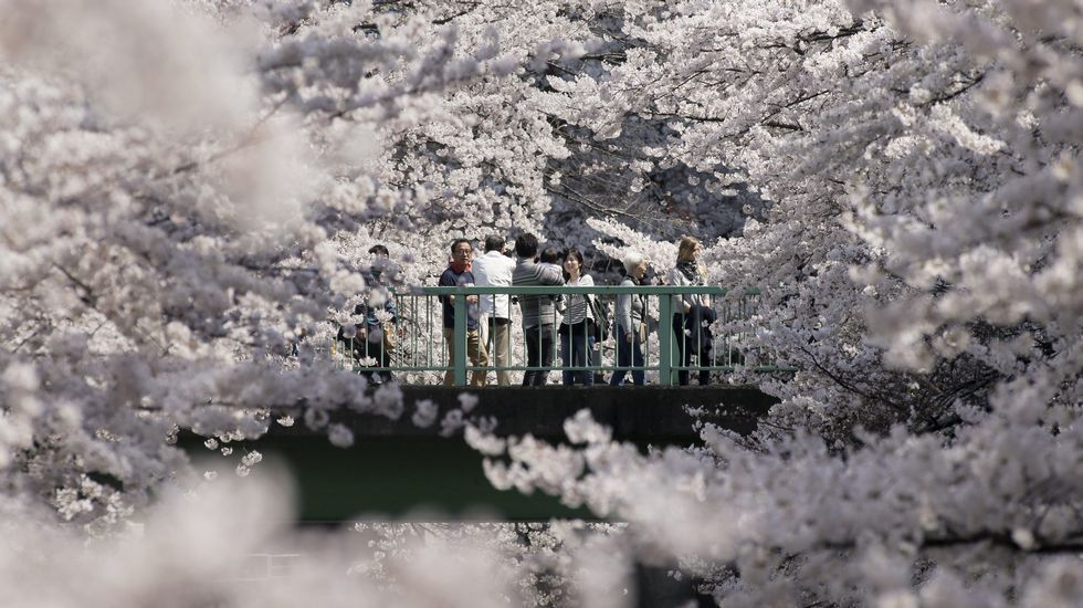 Japón recibe la primavera con el «sakura», la época de los cerezos en flor.